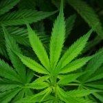 Duitsland wil Nederland voorbij stuiven met wet medicinale wiet