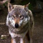 Hoe de wolf oprukt naar Nederland vanuit Duitsland